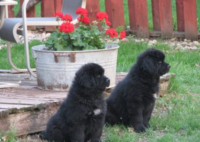 Two-Newfies-puppys