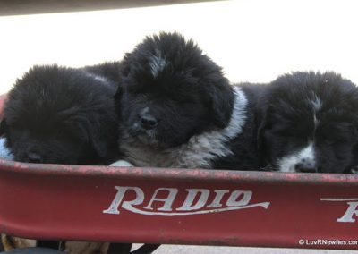 puppies-in-wagon